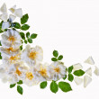 White roses border, isolated — Stock Photo