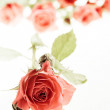 Roses on white — Stock fotografie