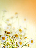 Beautiful chamomile flowers picked up in a field, portrait. — Stock Photo