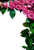 Rose frame, portrait — Stock Photo