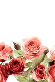 Roses on white — Stock Photo