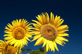 Sunflowers and bees — Stock Photo