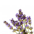 Lavender sprig on watercolour background - Stock Photo
