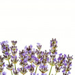 Royalty-Free Stock Photo: Lavender isolated on white