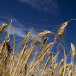 Stock Photo: Ripe wheat in a field