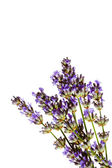 Lavender sprig on watercolour background — Stock Photo