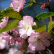 Japan pink cherry — Stock Photo