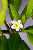 плюмерия (frangipani) цветок — Стоковое фото