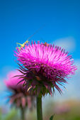 Two bugs on a Thistle looking up — Stock Photo