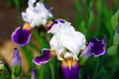 Irises in the garden — Stock Photo