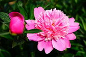 The pink pion in garden — Stock Photo