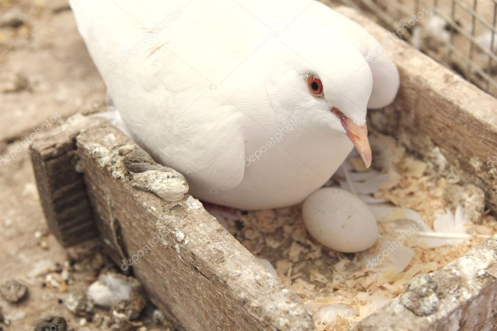 White dove in the nest brooding its egg — Stock Photo #10515327