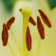 Stamens And Pistil Of  White Lily — Stock Photo