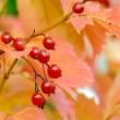 Autumn Red Berries — Stock Photo
