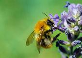 Honeybee on Blue Flower — Stock Photo