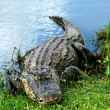 Stock Photo: Basking AmericAlligator