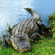 Basking American Alligator — Stock Photo