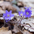 Violets in forest — Stock Photo #10193357