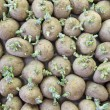 Potatoe sprouts — Stock Photo