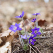 Violets in forest — Stock Photo