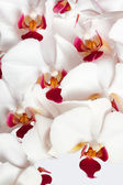Orchids with white petals and red heart — Stock Photo