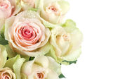 Pink roses close up — Stock Photo