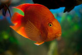 A large orange fish in the aquarium — Stock Photo