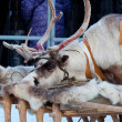 Foto Stock: Deer put his head on sledges