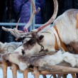Stockfoto: Deer put his head on sledges