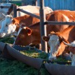 The cows eat silage - Stock Photo