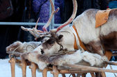 Deer put his head on the sledges — Foto de Stock