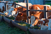 The cows eat silage — Stock Photo