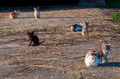 Gatos rurales — Foto de Stock