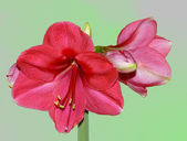 Flower Hippeastrum ( Amaryllis) — Stock Photo