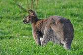 Kangaroo on a grass — Stock Photo