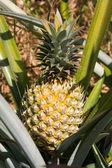 Pineapple plant — Stock Photo