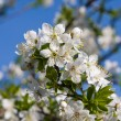 Blossoming apple tree against the blue sky — Stock Photo
