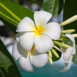 Frangipani flower — Stock Photo #10433322