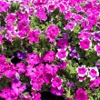 Bright pink petunias — Stock Photo