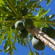 Bunch Of Papayas — Stock Photo #10482826