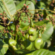 Cashew nuts growing on a tree. — Foto Stock