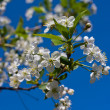White cherry flowers on spring time - Lizenzfreies Foto