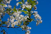 White cherry flowers on spring time — Stockfoto