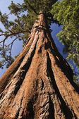 Giant Sequoia — Foto de Stock