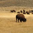 Group of Buffalo in Yellowstone National Park — Stock Photo #10302103