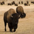 Group of Buffalo in Yellowstone National Park — Stock Photo #10302117