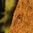 Closeup of sequoibark in California — Stock Photo #10303211