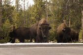 Buffalo in Yellowstone National Park, Wyoming — Stock Photo
