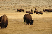 Groupe de bisons dans le parc national d'yellowstone — Photo