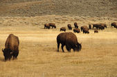 Group of Buffalo in Yellowstone National Park — Foto de Stock